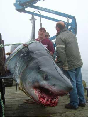 Uno squalo voluminoso pescato sulle coste del Yarmouth, Nova Scotia